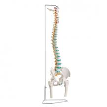 Flexible Wirbelsäule mit Oberschenkelstümpfen